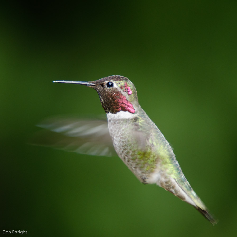 Male Anna's hummingbird, hovering