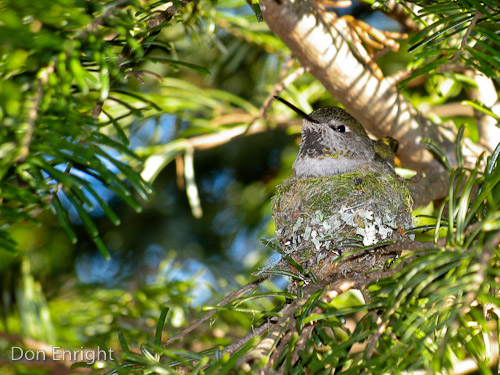 Female Anna's hummingbird on nest