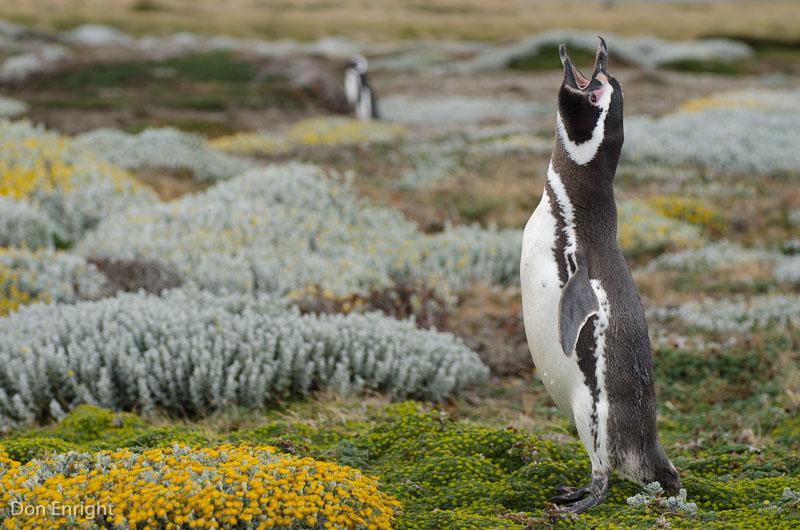 Penguin braying