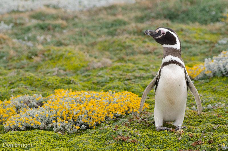 Magellanic penguin on the Patagonian tundra.