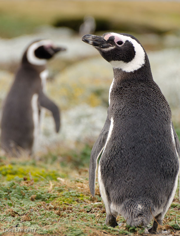 Penguin closeup