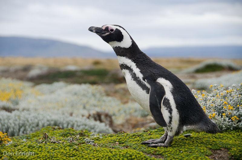 Penguin profile against Patagonian meadow