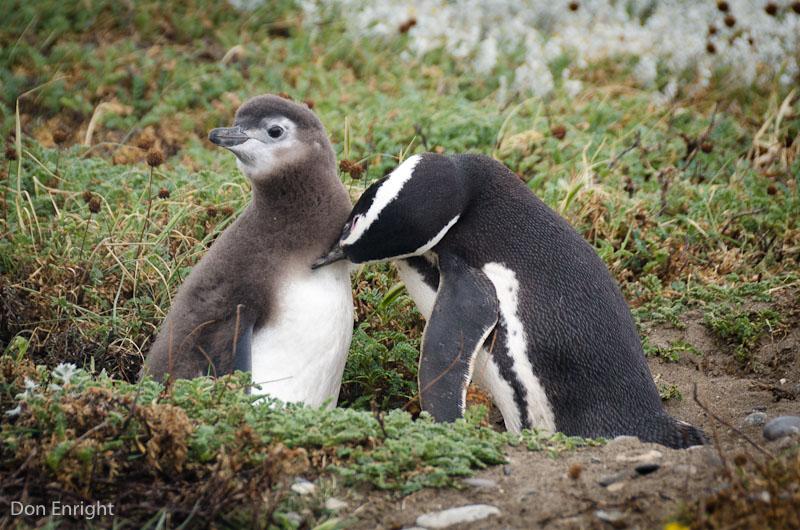 Penguin grooming baby