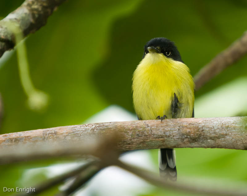 Yellow tody-flycatcher