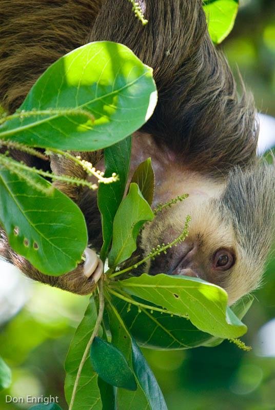 Sloth eating leaves.