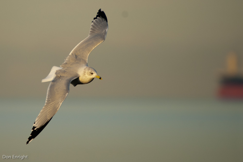 Comparing behaviors of Seagulls and Cormorants?