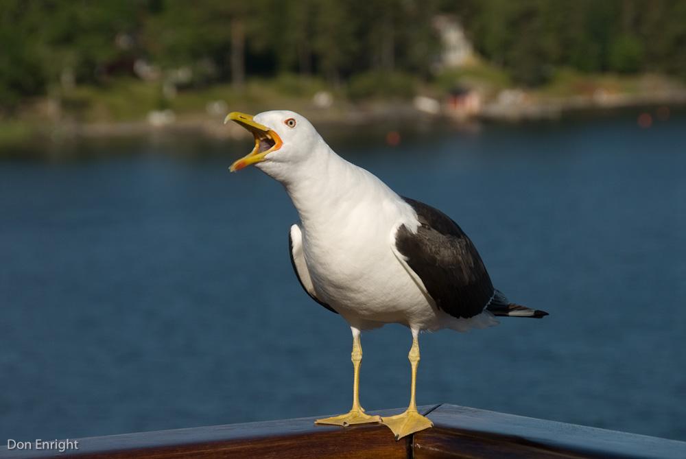 Lesser black-backed gull, Sweden