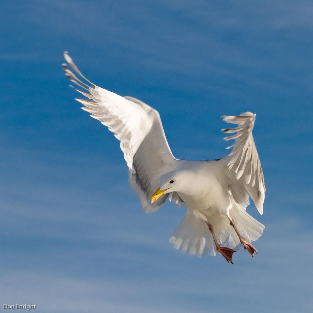 Glaucous-winged gull, Tsawwassen, BC
