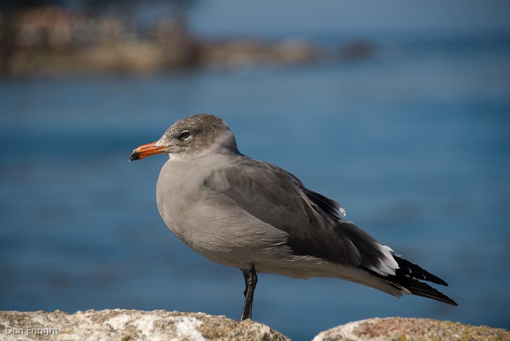 Heermann's gull, California