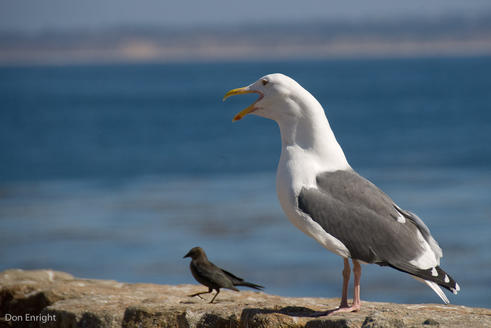 That would be the long call. Western gull, California.
