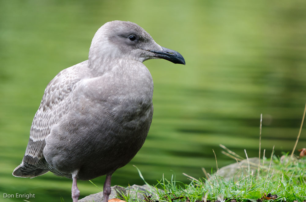 First-year glaucous-winged gull, Victoria.