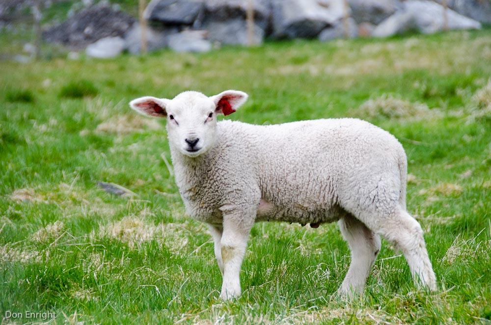 Lamb, Flam