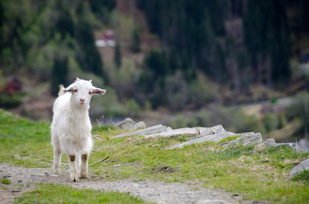 Goat baby.