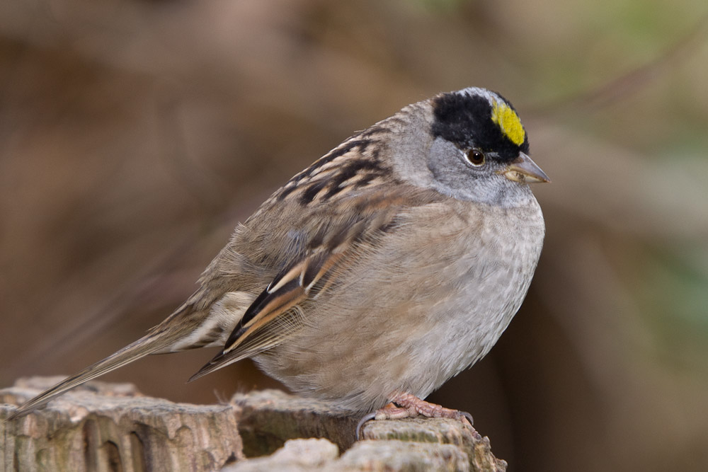 Golden-crowned sparrow, Lost Lagoon