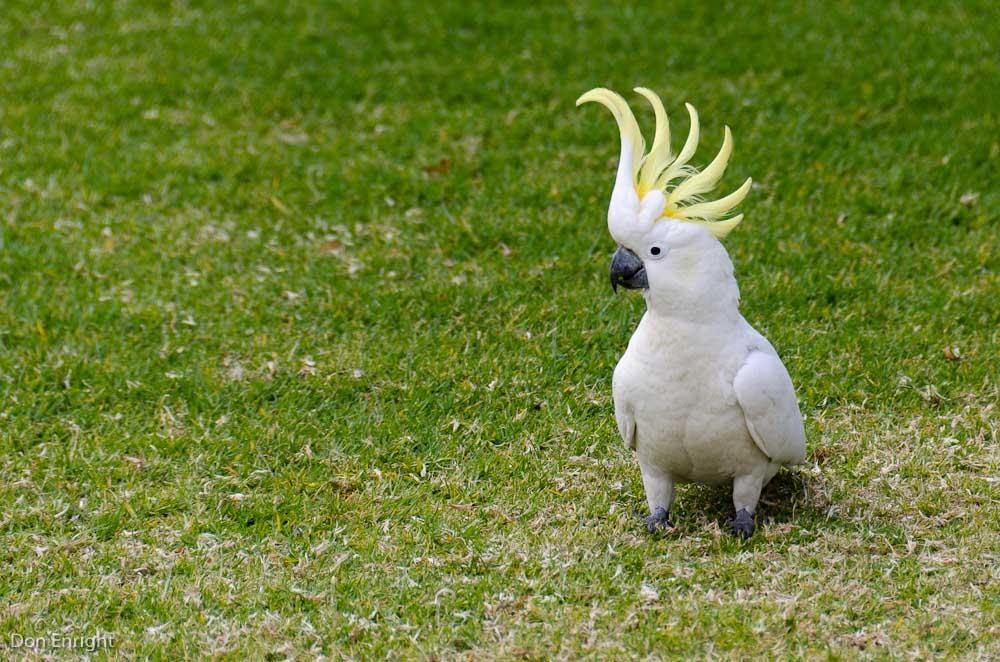 sulfur-crested cockatoo