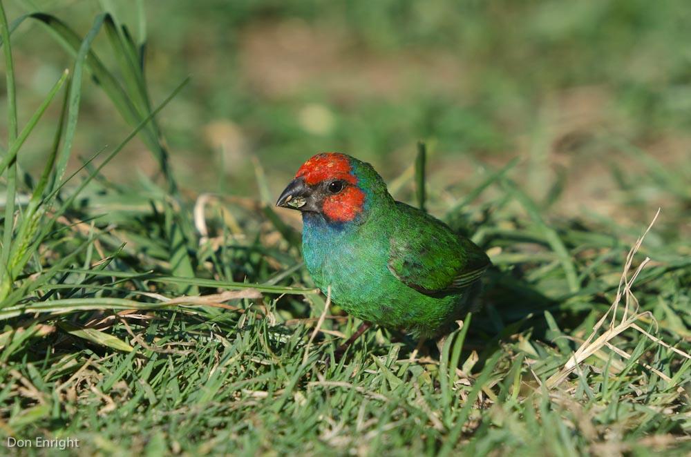 Fiji parrot finch