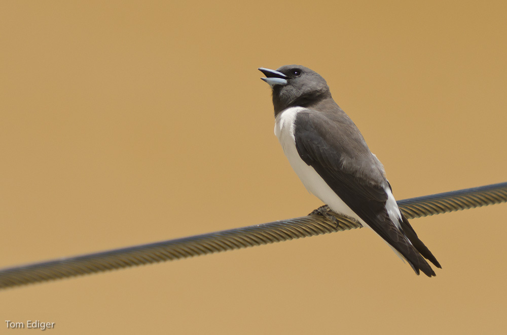 wood swallow