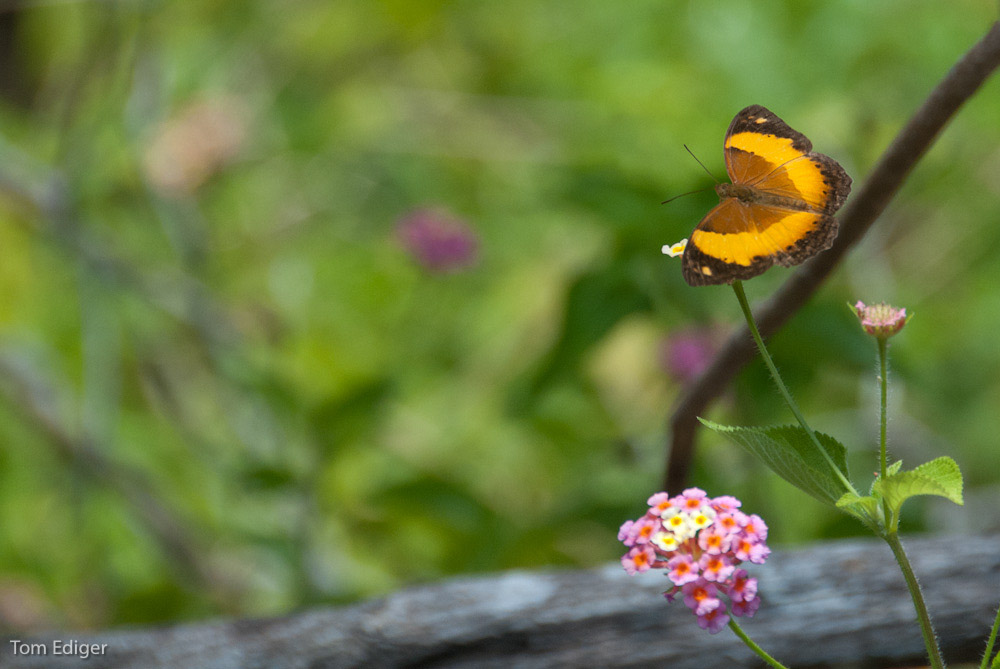 butterfly and lantana