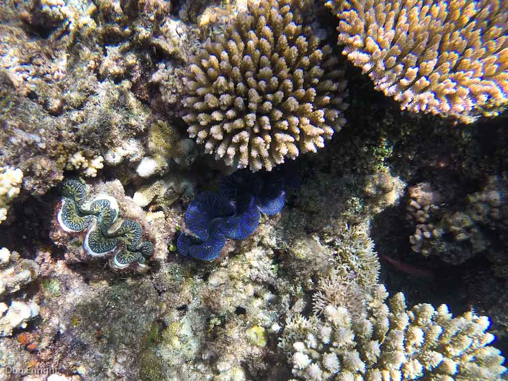 Coral and blue clams