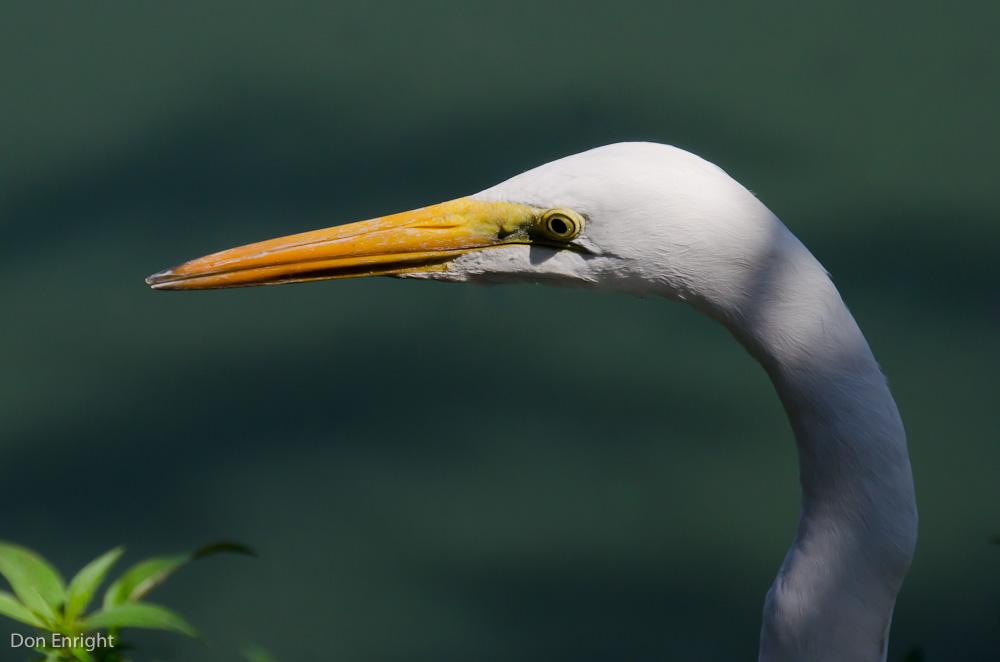 great egret detail