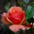 Livin' Easy rose
