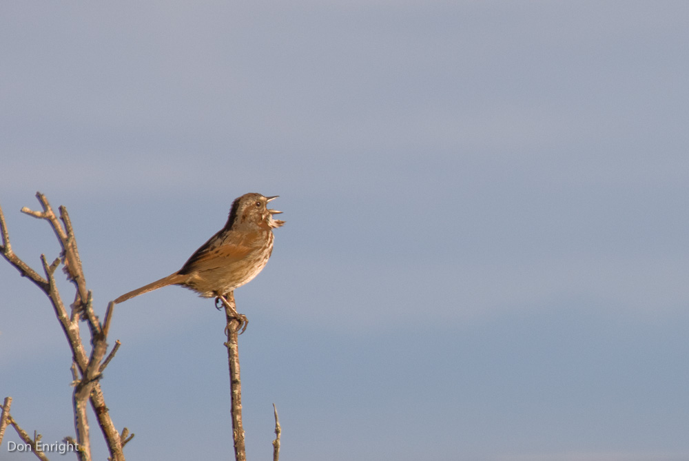 Song sparrow, singing