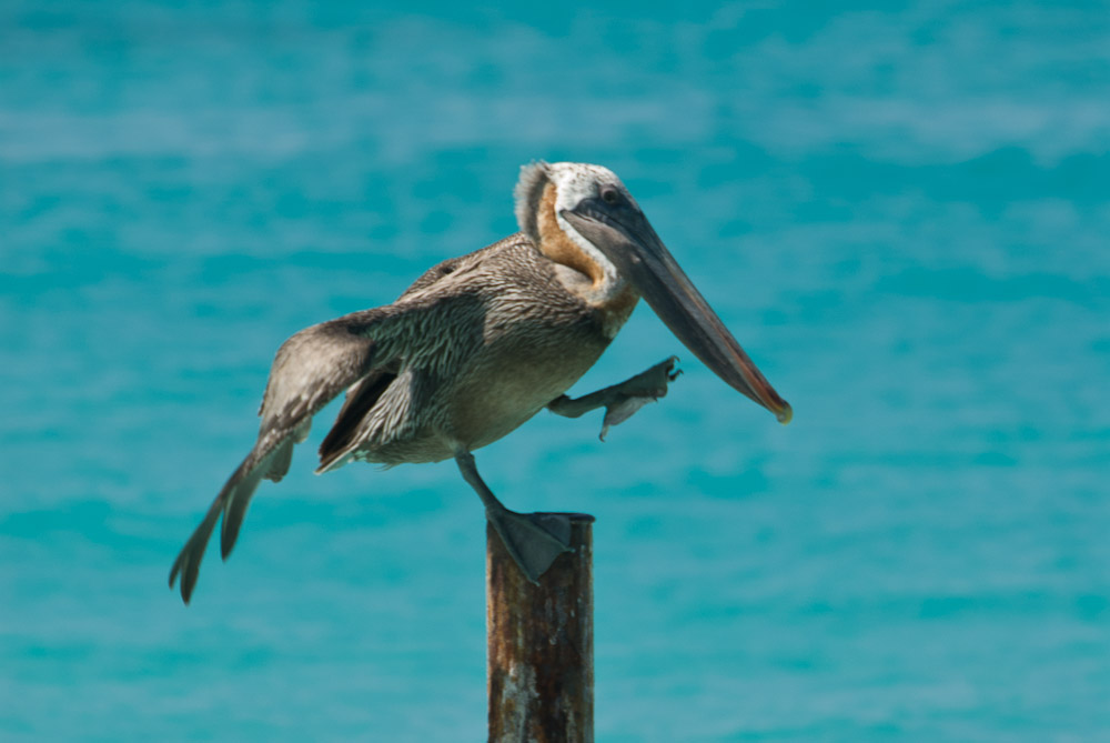 brown pelican, teetering